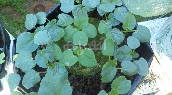 okra growing in grow bags