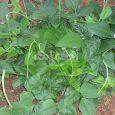 Bush Snake Bean Cultivation