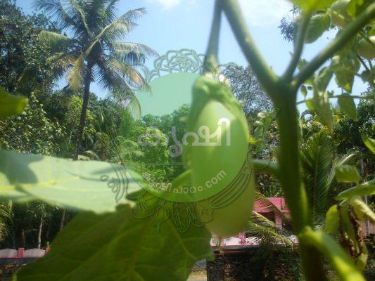 brinjal cultivation tips