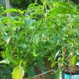 green chillies cultivation