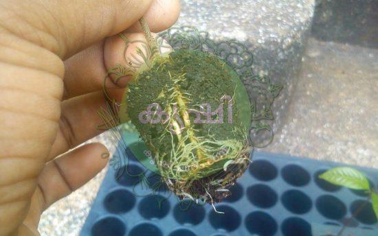 Usage Of Seeding Tray