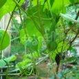 nithya vazhuthana plant