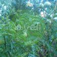 തക്കാളി കൃഷിയിലെ വാട്ടം എങ്ങിനെ പ്രതിരോധിക്കാം - Tomato Bacterial Wilt 3