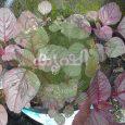 ചീരയിലെ ഇലപ്പുള്ളി രോഗം നിയന്ത്രിക്കാന് - mosaic decease in cheera 4